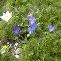 Flore Alpestre