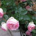 Roses anciennes....