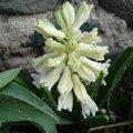 2008 03 31 Une fleur de Narcisse avec des goutes d'eau