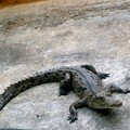 Les bébés alligators
