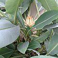 Bananier nain chinois