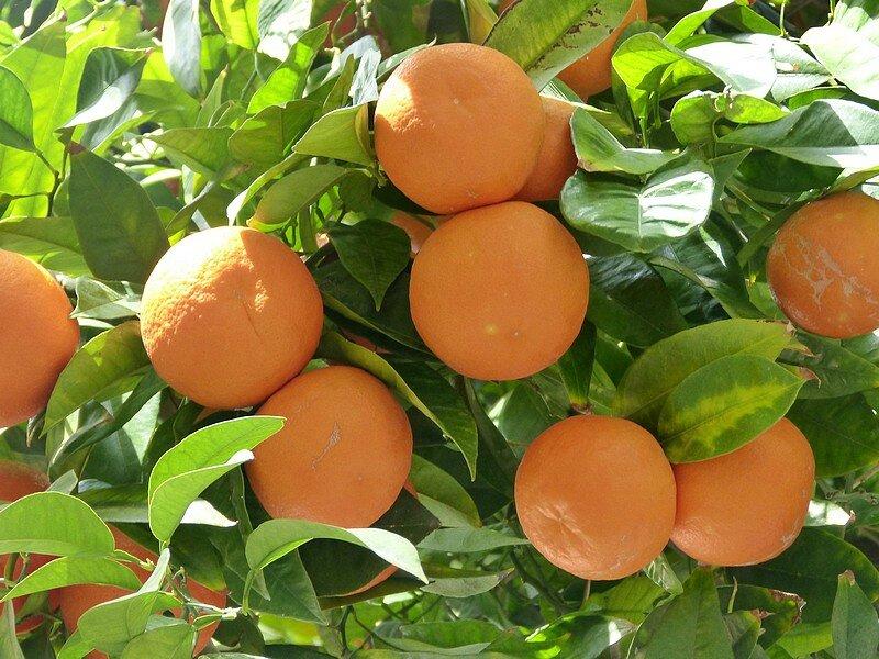 les oranges amères