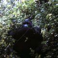 gorille 08