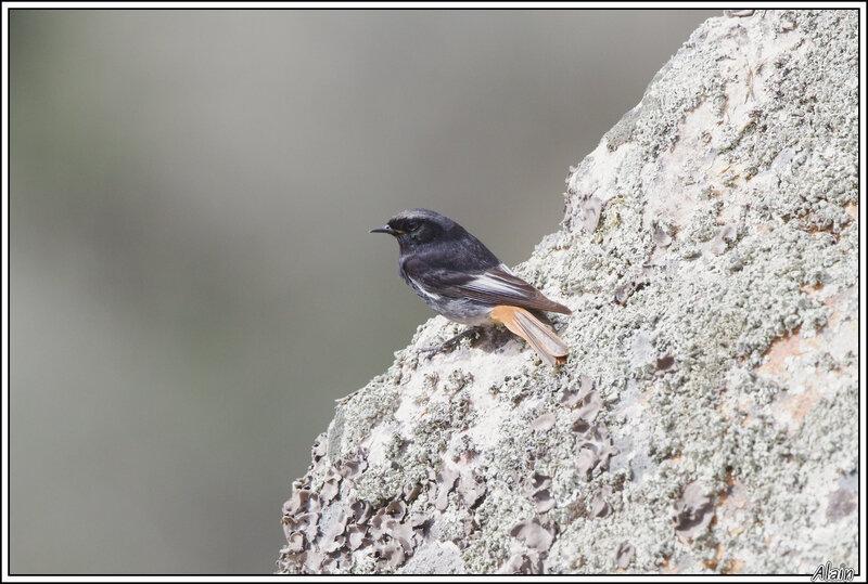 Rougequeue noir (Phoenicurus ochruros)