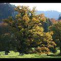 Le plus vieux <b>chêne</b> <b>pédonculé</b> d'Europe...