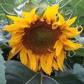 2008 08 14 Une fleur de tournesol sunpot