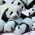 🐼 des bébés pandas 💖