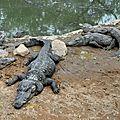 crocod