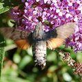 Autres papillons