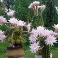 Les cactus des voisins…