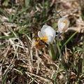2009 03 27 Une abeille qui butine une fleur de Colchique