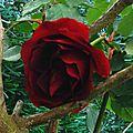 Rose 2104162