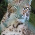 Forestia : du côté des <b>Lynx</b>...