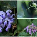 Glycine (Wisteria sp)