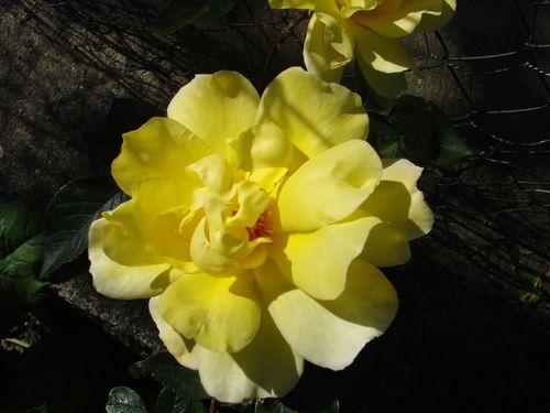 2008 06 28 Ma première rose