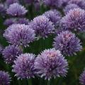 2009 06 09 Ciboulette en fleur