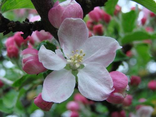 2008 05 14 Une fleur de pommier a petite pomme