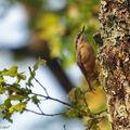 La sittelle, un infatigable grimpeur des arbres