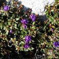 29 05 10 Rhododendron russatum Keilour (8)