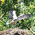 Chapitre 4 cigogne blanche en lorraine, white stork, weiss storch, cigogna bianca