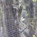 2008 11 06 Un mésange sur l'arbre