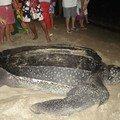 Une tortue luth aux anses d'arlets