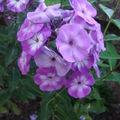2008 09 01 Phlox en fleur
