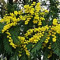 Mimosa 2301162