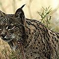 ESPAGNE et PORTUGAL - Le Lynx ibérique fait son retour !