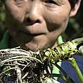 Savez-vous de quoi est fait le wasabi vert que l'on vous sert dans les restaurants ? {découverte du vrai wasabi au japon}