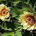 Pivoines jaunes_13 14 05_2706