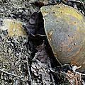Très beau cèpe noir sur vieille taupinière...