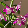 <b>Dendrobium</b>