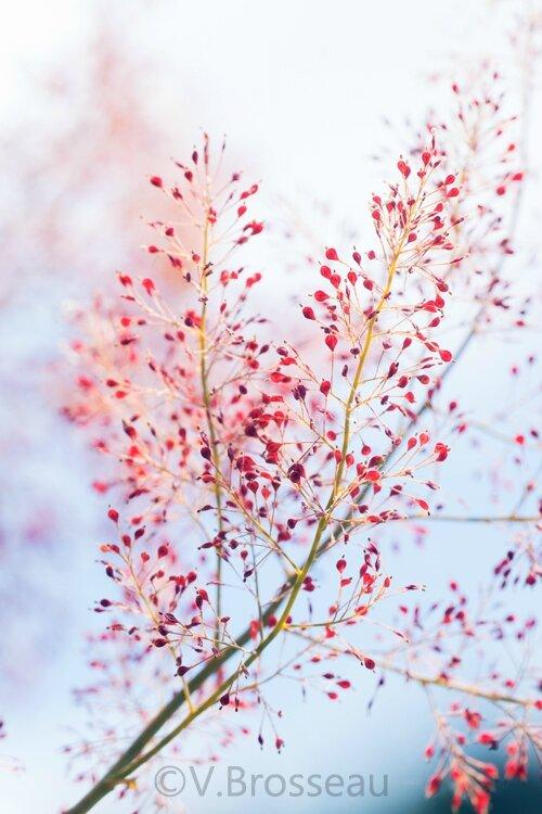 plume-poppy14-01