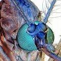 moustique1