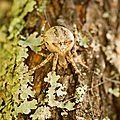 Epeire à dents de scie - Araneus angulatus (2)