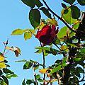 Rose 250416