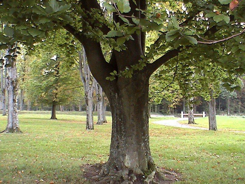 arbre gros noisetier