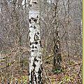 lE BOULEAU VERRUQUEUX , <b>Betula</b> pendula ( bétulacées )