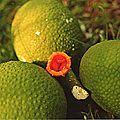 fruits033