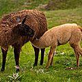 Les Pyrénées - Les <b>lamas</b> -
