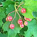 Le Viorne obier (Viburnum opulus)