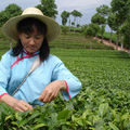 Cueilleuse de thé - yunnan
