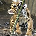 tigre2zl9hVU1qgwf6po1_1280