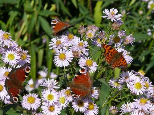 2008 09 27 Quatres papillons