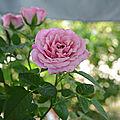 05/08/18 : A propos d'un mini-<b>rosier</b>