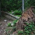 2009 06 19 Un arbre couché sur le chemin pour aller au sommet du Pic du Lizieux