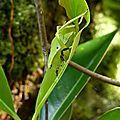 Sauterelle feuille - nymphe