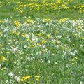 Champ de narcisses et autres fleurs dans l'Aubrac