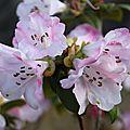 rhododendron X Cilipense